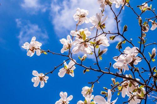 magnolia-2096958_640
